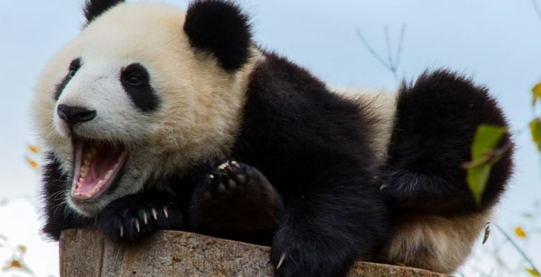 17 Cute Facts about Pandas